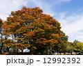 ケヤキの紅葉 ケヤキ 紅葉の写真 12992392