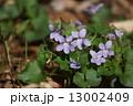 スミレ タチツボスミレ 花の写真 13002409