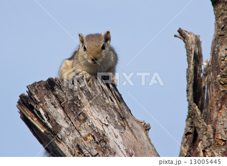 Indian palm squirrel on a dead tree 13005445