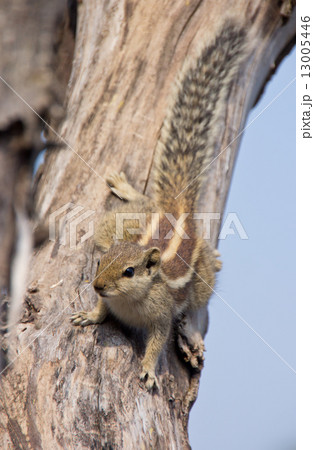 Indian palm squirrel on a dead tree 13005446