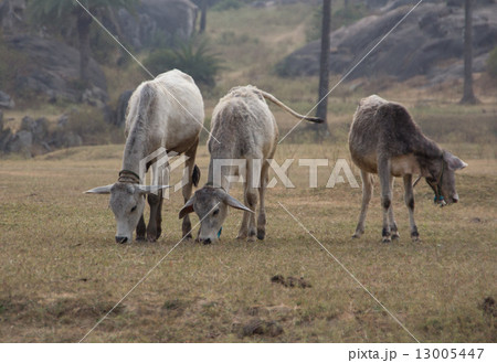 Indian cows graze in the meadow 13005447