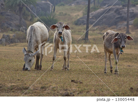 Indian cows graze in the meadow 13005448