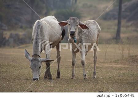 Indian cows graze in the meadow 13005449