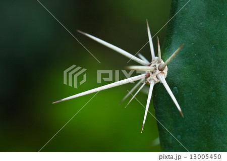 Large spike on a cactus. Macro. Mysore. India. 13005450