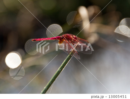 Big red dragonfly sits on a sunny day on the stem. 13005451