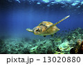 Green sea turtle swimming underwater  13020880