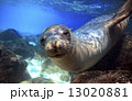 Curious sea lion underwater 13020881