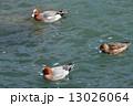 鴨川で遊ぶカモ3羽(京都市) 13026064
