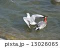 鴨川で遊ぶカモメ・カモ(京都市) 13026065