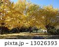 銀杏並木 木 枯葉の写真 13026393