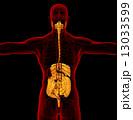 解剖学的 腸 ヒューマンのイラスト 13033599