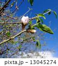 扁桃 ヘントウ 花の写真 13045274