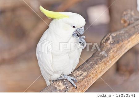 White Cockatooの写真素材 [13050541] - PIXTA