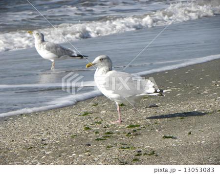 大波と採餌中のセグロカモメ 13053083