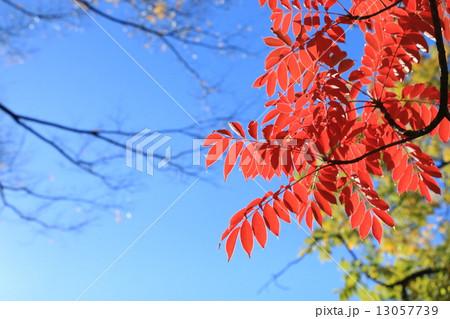 澄んだ青空と紅葉 13057739