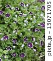 ネモフィラ・メンジージー ペニーブラック 花の写真 13071705