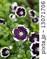ネモフィラ・メンジージー ペニーブラック 花の写真 13071706