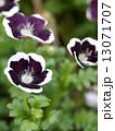 ネモフィラ・メンジージー ペニーブラック 花の写真 13071707