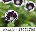 ネモフィラ・メンジージー ペニーブラック 花の写真 13071708