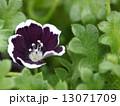 ネモフィラ・メンジージー ペニーブラック 花の写真 13071709