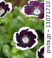 ネモフィラ・メンジージー ペニーブラック 花の写真 13071710