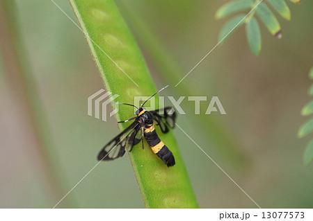 生き物 昆虫 ムラマツカノコ♂、2004年に与那国島で確認された外来種。石垣島にも定着したようです 13077573