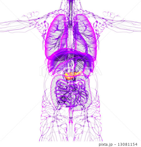 3d render medical illustration of the pancreas 13081154