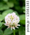 白詰草 シロツメクサ 花の写真 13081383
