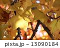 プラタナス スズカケ スズカケノキの写真 13090184