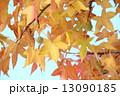 プラタナス スズカケ スズカケノキの写真 13090185