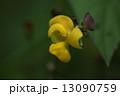自然 植物 ヤブツルアズキ、アズキの原種といわれています。それにしても豆の花は表現しづらい形です 13090759