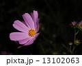 コスモス 13102063