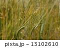 大麦の実りへ 13102610
