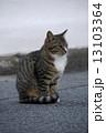 おすましポーズのトラ猫 13103364