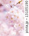 満開の桜 13105190