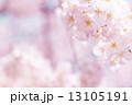 満開の桜 13105191