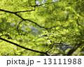 新緑 13111988