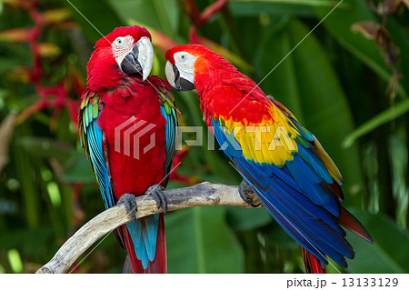 Couple of Green-Winged and Scarlet macaws in nature surrounding 13133129