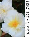 白いベコニア 13147835