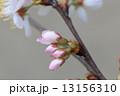 大島桜 ピンク 花の写真 13156310