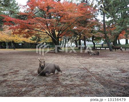 奈良公園の鹿 13156479