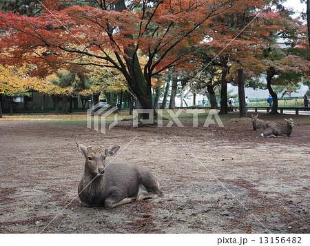 奈良公園の鹿 13156482