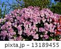 菊花 菊 花の写真 13189455