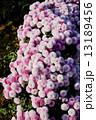 菊花 菊 花の写真 13189456