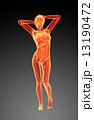 骨 臓器 骨格のイラスト 13190472