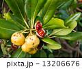 トベラの実と赤いタネ 13206676