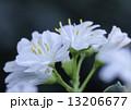 白いレウィシアの花 13206677