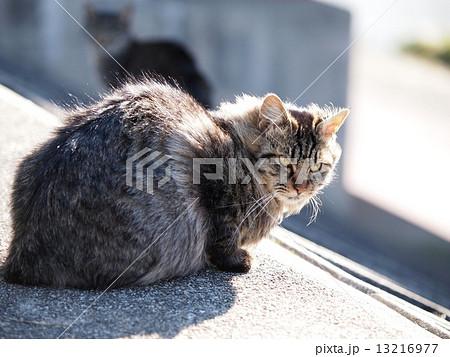 風に吹かれる猫 13216977