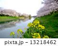 菜の花 水辺 川の写真 13218462