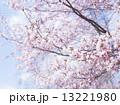 桜(空バック) 13221980